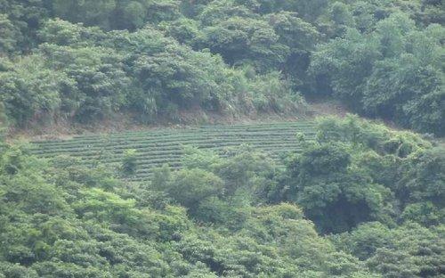 翠峰茶区位於南投县仁爱乡